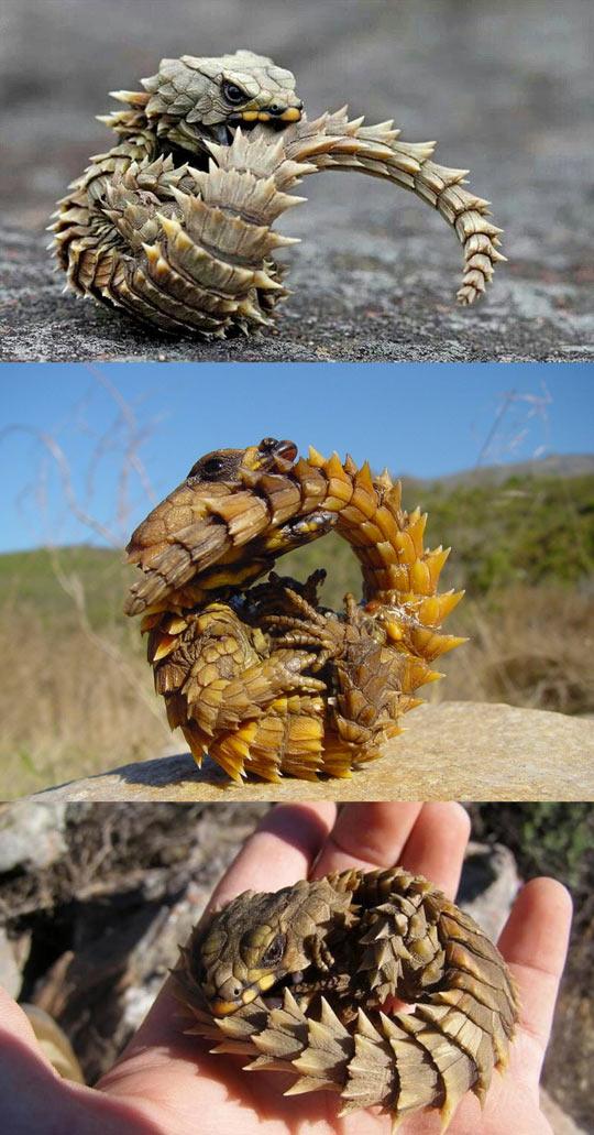 cool-Armadillo-Girdled-Lizard-animal-tail