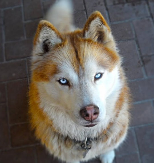 Huskies Have Serious Beauty