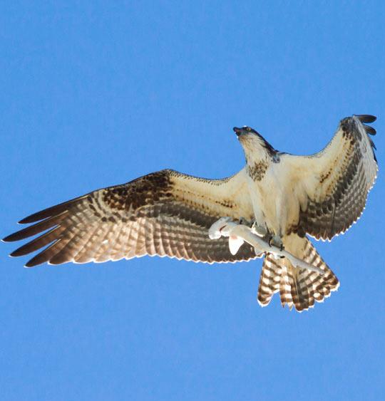 cool-Osprey-flying-hammerhead-shark