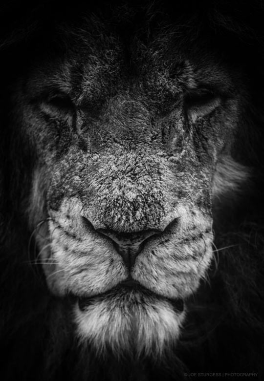 cool-aging-lion-face-old