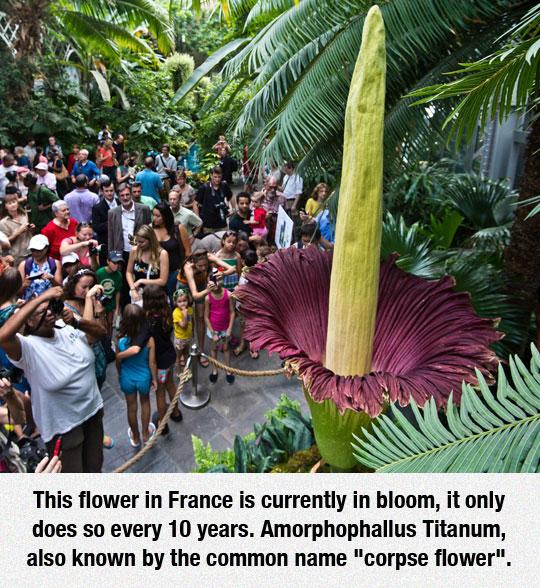 cool-corpse-flower-blossom-France