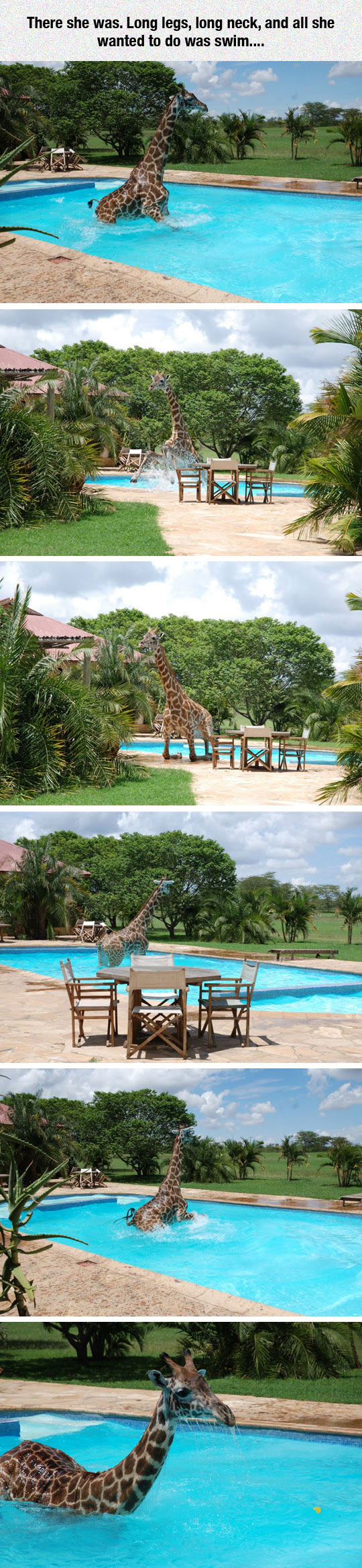 Monduli The Giraffe Takes A Swim