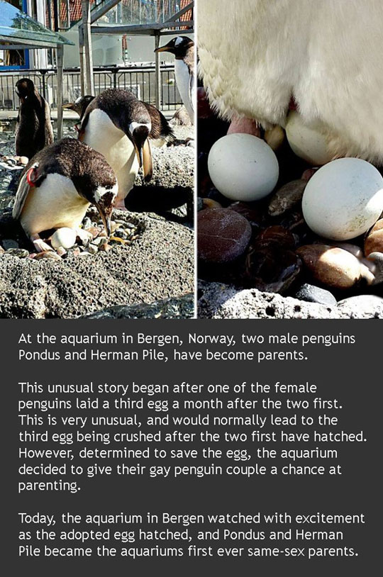 Gay Penguins Are Now Parents