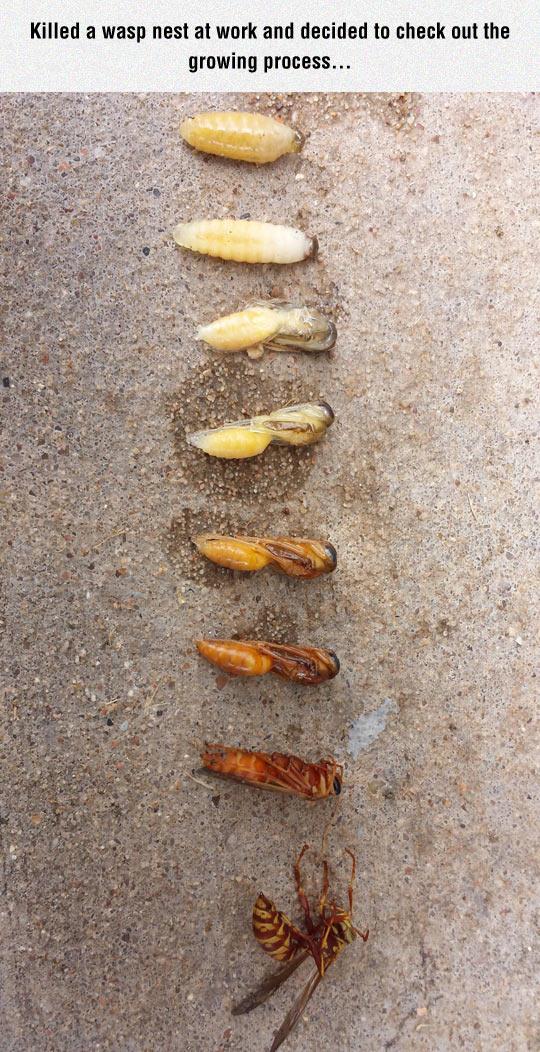 Wasp Growing Process