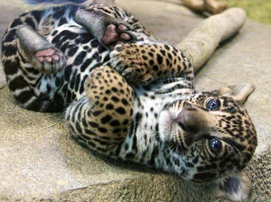cute-baby-cheetah-eyes