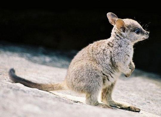 cute-baby-wallaby-beach