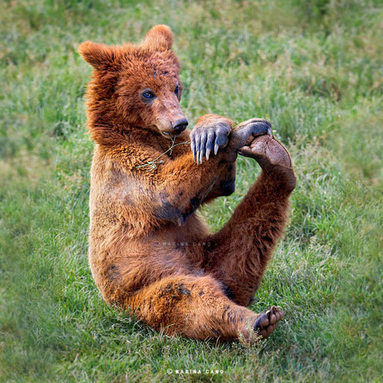 cute-bear-stretching-leg-grass