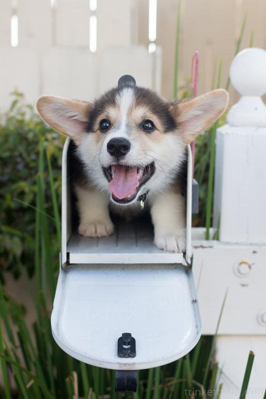 A Corgi In A Mailbox