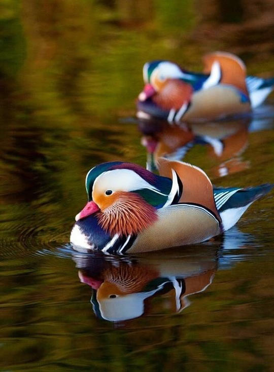 Mandarin Duck On A River In Dublin