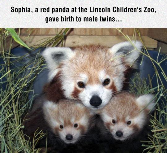 Red Panda Mom And Children
