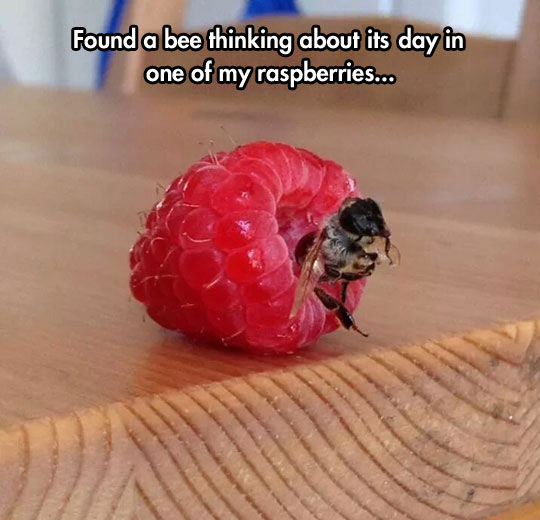 funny-bee-thinking-sitting-raspberries
