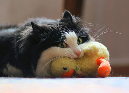 funny-cat-eating-stuffed-duck