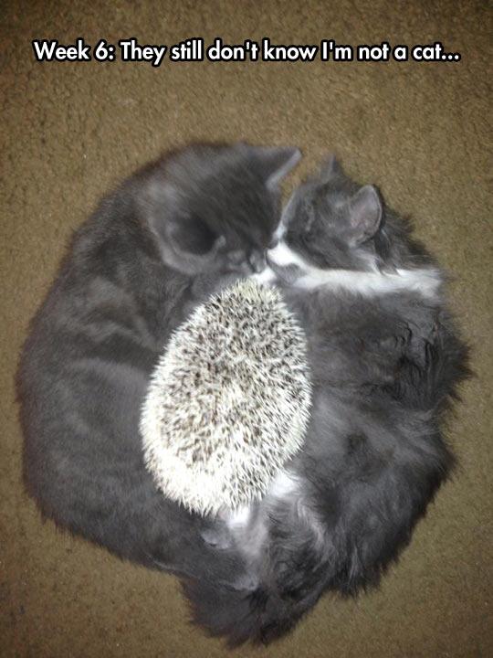 Undercover Hedgehog