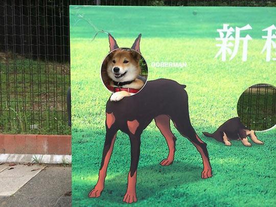 funny-doberman-body-face-dog