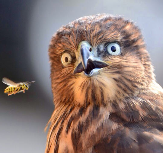 An Eagle Surprised By A Hornet