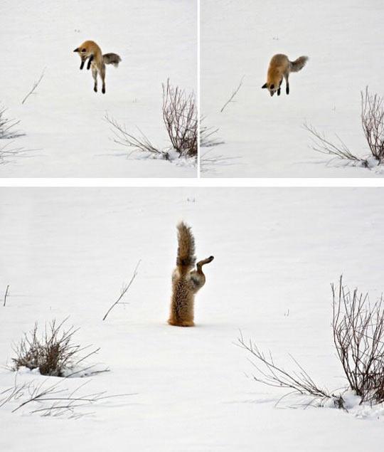 funny-fox-jump-snow-stuck