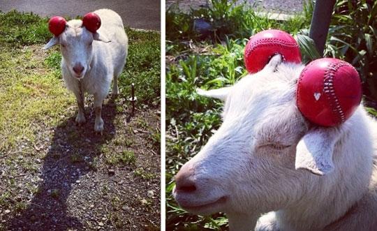 Goat Safety