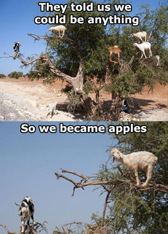 funny-goats-on-tree-apples