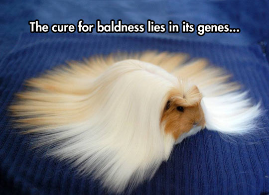 Long Hair Guinea Pig