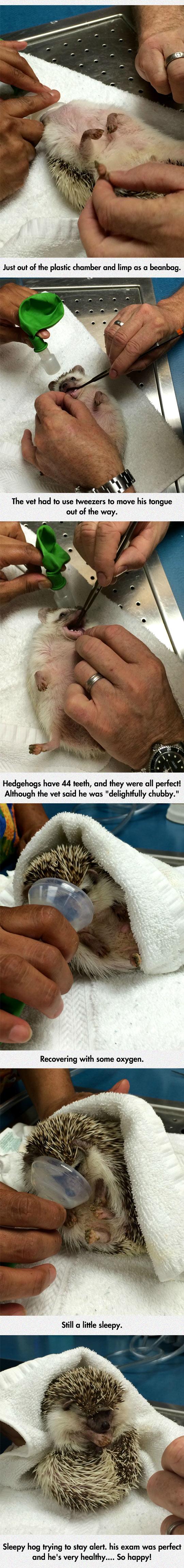 funny-hedgehog-anesthesia-oral-exam-tooth