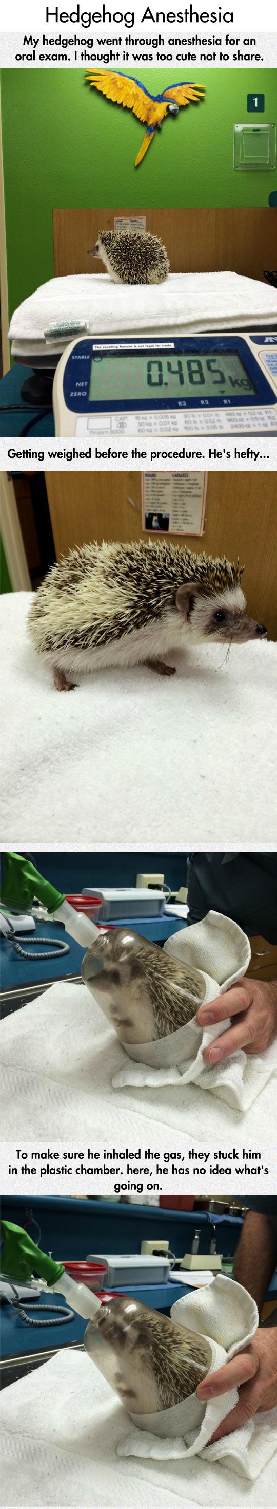 funny-hedgehog-anesthesia-oral-exam