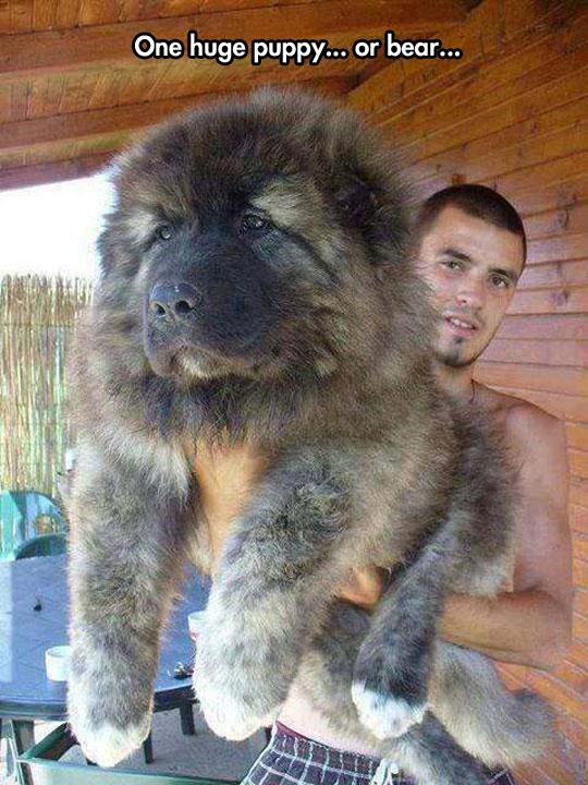 funny-huge-puppy-bear-lookalike