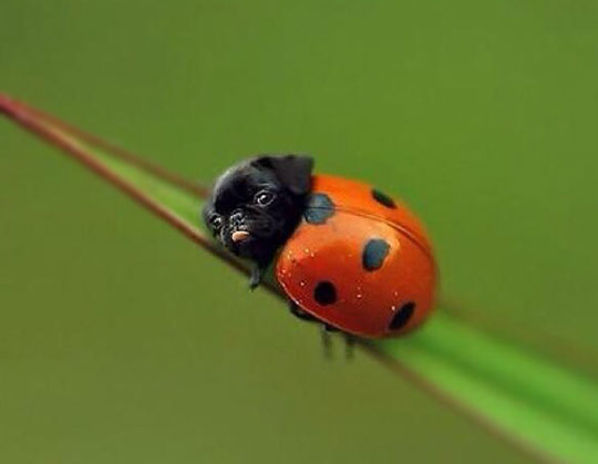 The Rare Ladypug