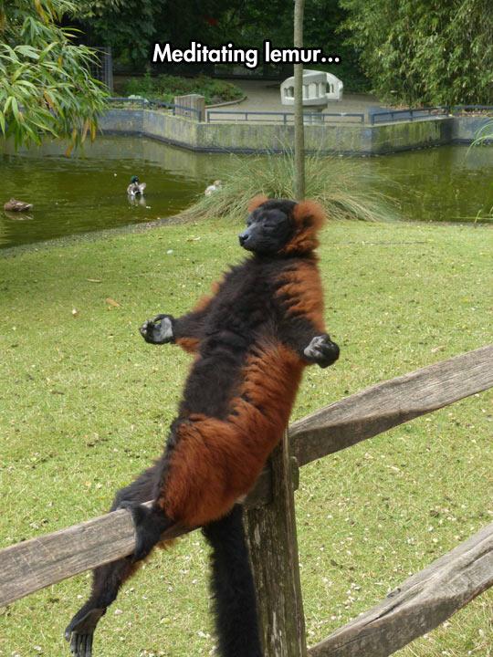 funny-lemur-meditating-fence-park