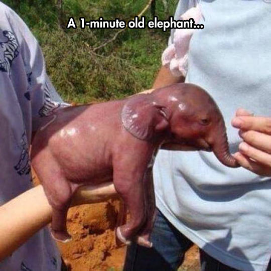funny-one-minute-old-baby-elephant