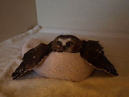 funny-owl-laying-towel-comfy