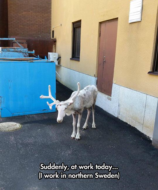 funny-reindeer-work-outside-Sweden