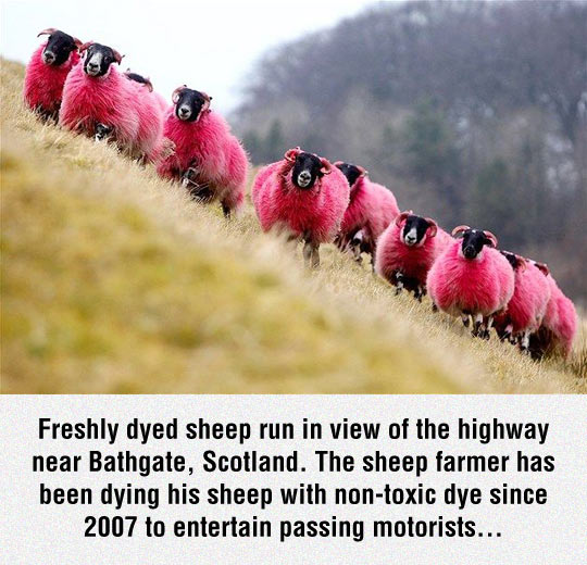 funny-sheep-mountain-color-pink