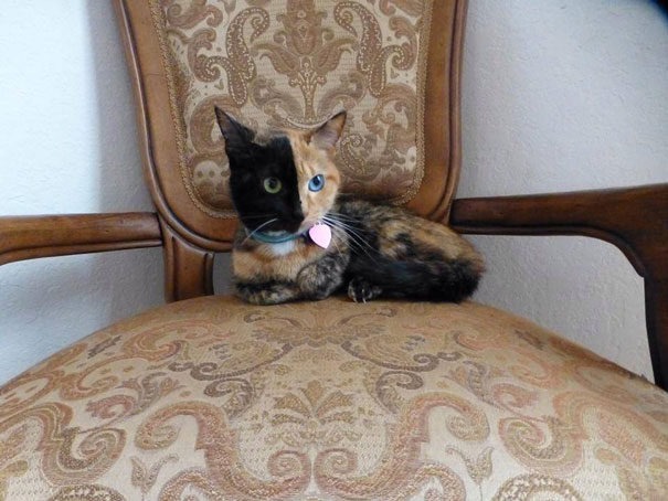 two-faced-chimera-cat-venus-25