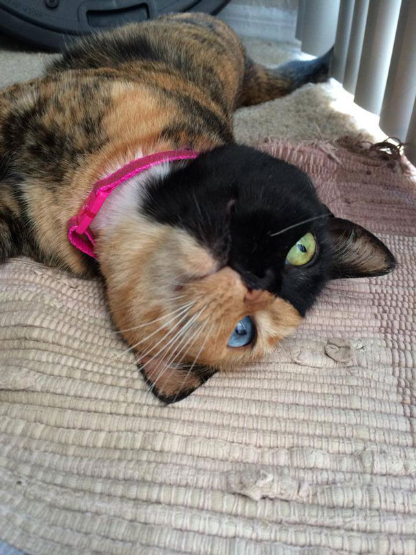 two-faced-chimera-cat-venus-30