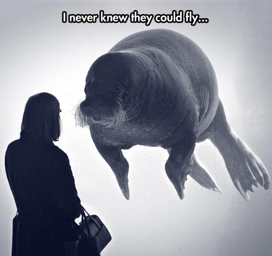 Floating Walrus Is Majestic