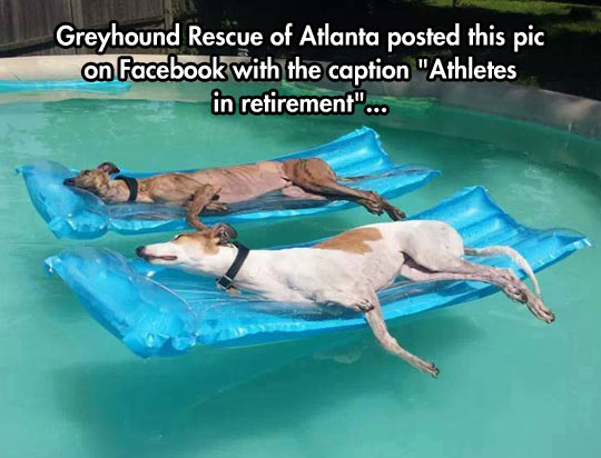 cool-Greyhound-dogs-resting-pool