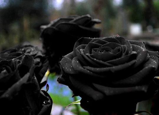cool-black-rose-color-flower