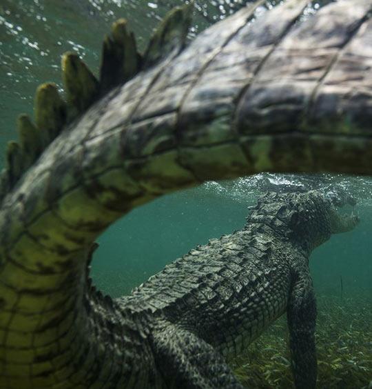 Crocodile Tail Killer Shot