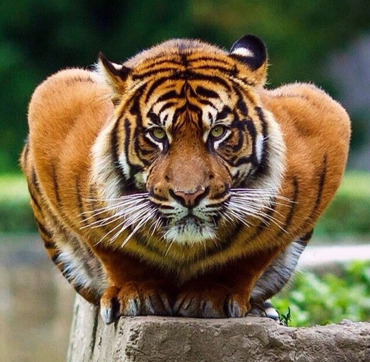 cool-crouching-tiger-fierce-look