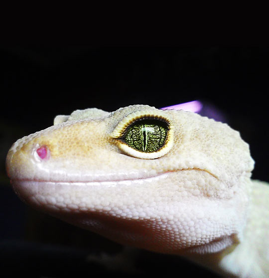 cool-gecko-eyes-lizard-green
