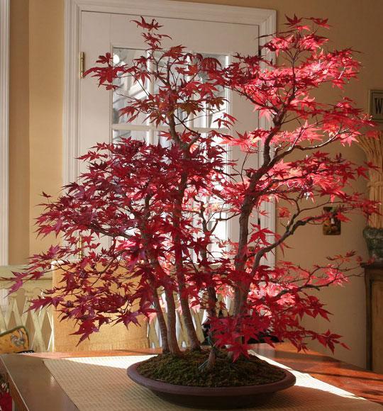 Maple Bonsai In Autumn