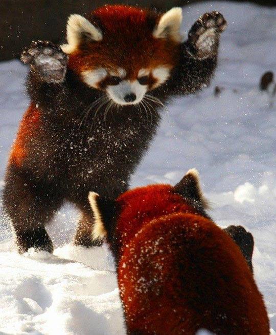 cool-red-pandas-playing-snow