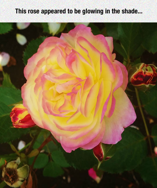 cool-rose-flower-yellow-color