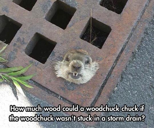 cool-woodchuck-stuck-storm-drain