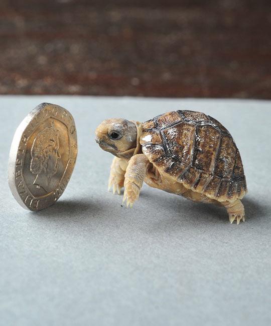 The Smallest Tortoise