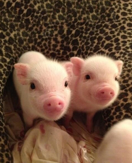 cute-baby-pigs-pink-nose
