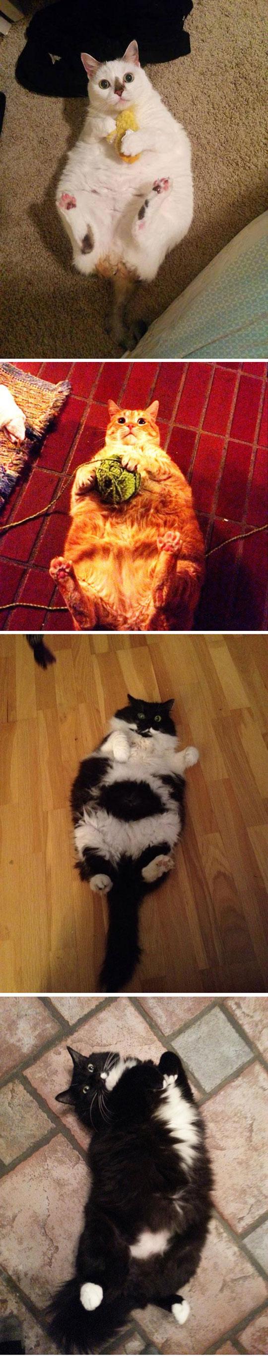 cute-cat-fat-laying-around