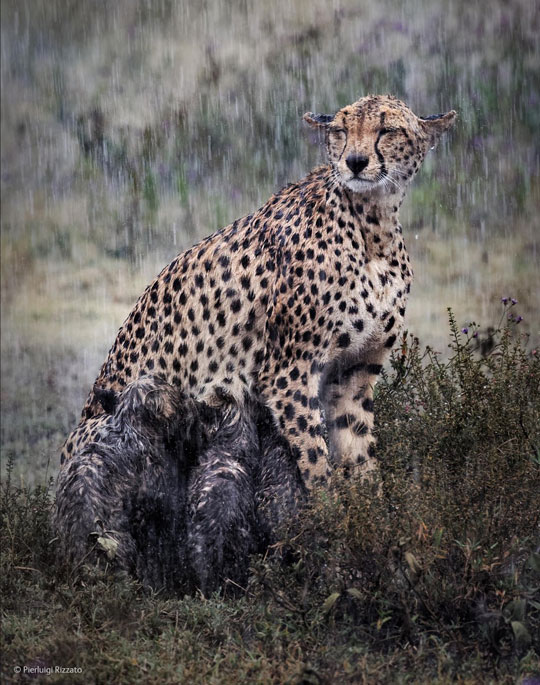 Cheetah Nursing Her Cubs In The Rain