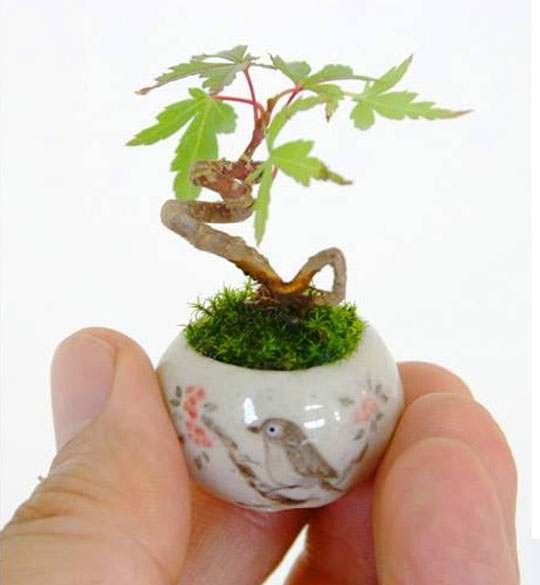 A Tiny Maple Bonsai