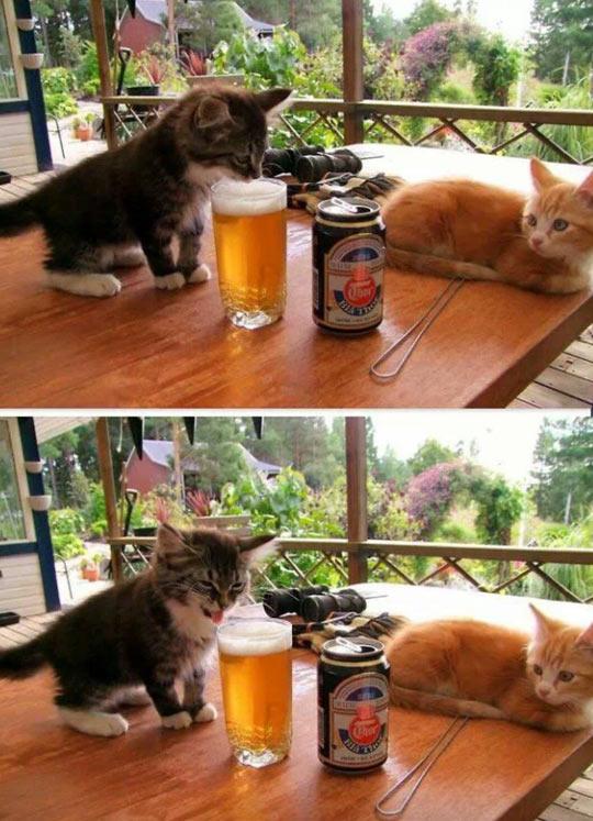 funny-beer-kitten-taste-dislike
